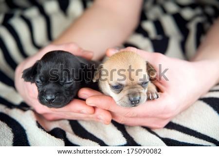 chihuahua puppies - stock photo