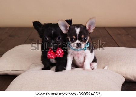 Chihuahua puppies are wearing dog-collar - stock photo