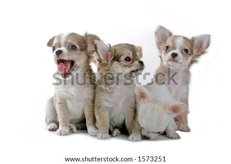 chihuahua puppies in a row - stock photo