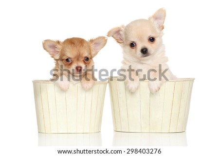Chihuahua puppies in flower pots on white background - stock photo