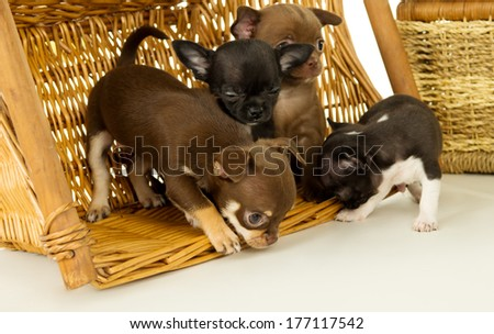 Chihuahua puppies playing in a basket - stock photo