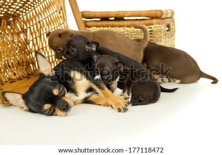 Chihuahua puppies sucking milk from mother isolated - stock photo