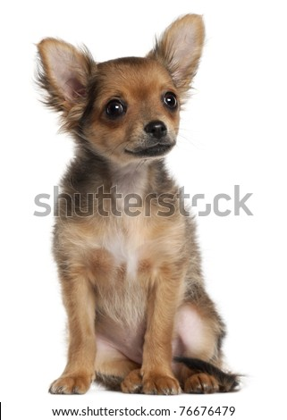 Chihuahua puppy, 2 and a half months old, sitting in front of white background