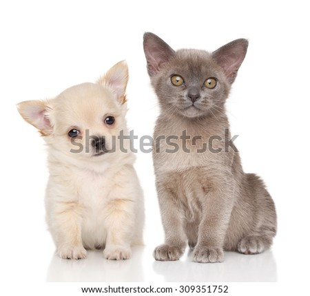 Chihuahua puppy and Burma kitten on white background - stock photo