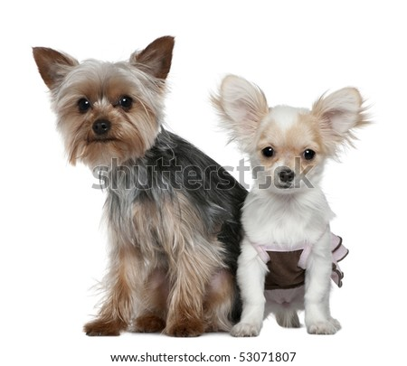 Chihuahua puppy and Yorkshire terrier, 4 months and 1 year old, sitting in front of white background