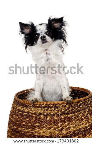 Chihuahua puppy dog in a basket. Isolated on a clean white background. - stock photo
