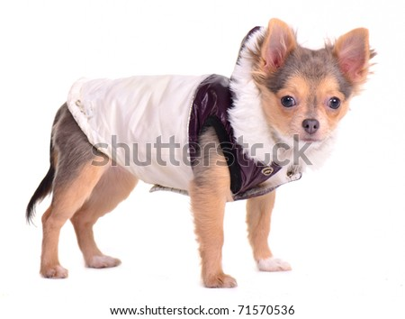 Chihuahua puppy dressed in coat for cold weather, standing in front of white background - stock photo