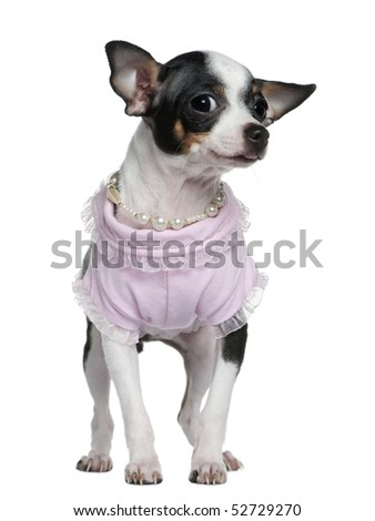Chihuahua puppy dressed in pink and pearls, 5 months old, in front of white background - stock photo