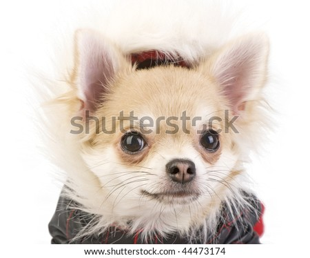 Chihuahua puppy in a fur hood portrait