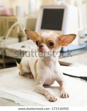Chihuahua puppy in animal hospital preparing to usg     Save to a Lightbox ?             Find Similar Images     Share ?  Chihuahua puppy