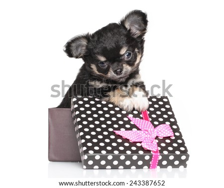 Chihuahua puppy in gift box on a white background - stock photo