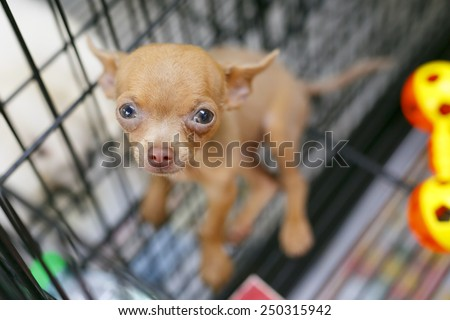 Chihuahua puppy in pet shop - stock photo