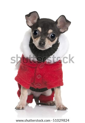 Chihuahua puppy in Santa coat, 3 months old, sitting in front of white background - stock photo