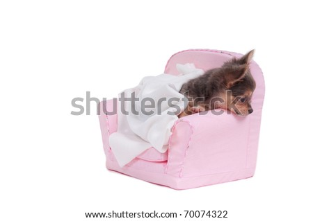 Chihuahua puppy is getting ready to go to sleep in a nice pink armchair isolated on white background - stock photo