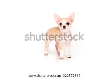 Chihuahua puppy isolated on white background - stock photo