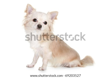 Chihuahua puppy light-brown color sitting on a white background