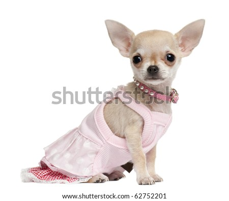 Chihuahua puppy, 18 months old, dressed up and sitting in front of white background - stock photo