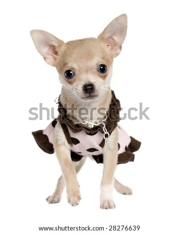 chihuahua puppy (5 months old) in front of a white background