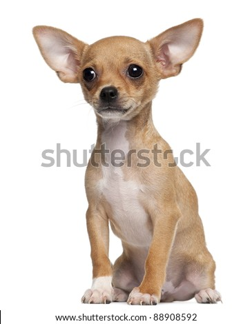 Chihuahua Puppy, 5 months old, sitting in front of white background - stock photo