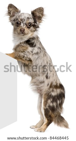 Chihuahua puppy, 8 months old, standing in front of white background - stock photo