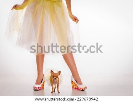 Chihuahua puppy near the slender legs.Beautiful glamour woman with small dog Chihuahua - stock photo
