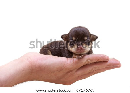 Chihuahua puppy  on white - stock photo