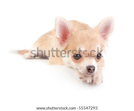 chihuahua puppy over  white background - stock photo