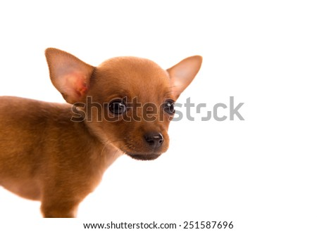 Chihuahua puppy pet dog doggy portrait on white background - stock photo