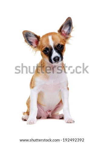 chihuahua puppy portrait on white background