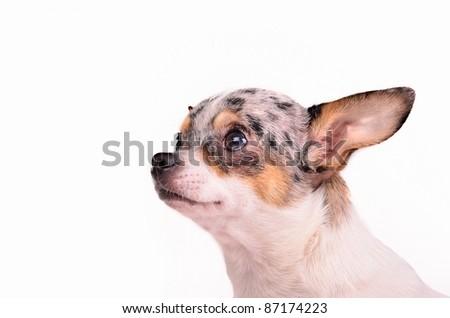 Chihuahua puppy portrait, studio shot - stock photo