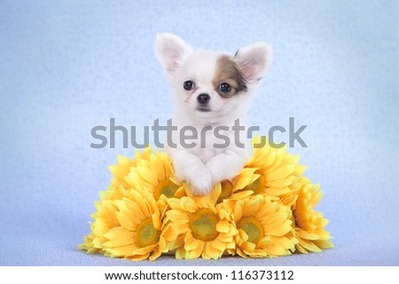Chihuahua puppy portrait with yellow flowers - stock photo