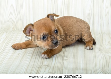 Chihuahua puppy posing in the wooden background