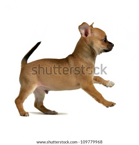 Chihuahua puppy running, isolated on white background