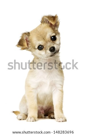 Chihuahua puppy sat facing the camera with his head tilted isolated on a white background