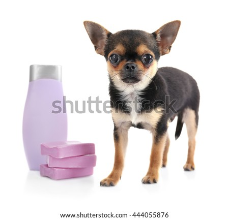 Chihuahua puppy, shampoo and soap isolated on white