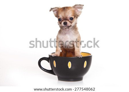 Chihuahua puppy sitting in a cup and looking at the camera (isolated on white) - stock photo