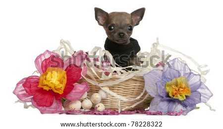Chihuahua puppy sitting in Easter basket with flowers in front of white background - stock photo