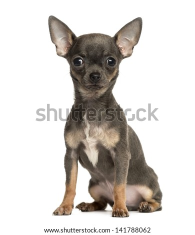 Chihuahua puppy sitting, looking at the camera, 4 months old, isolated on white