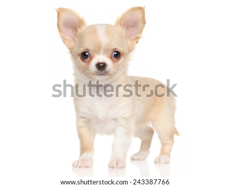 Chihuahua puppy standing in front of white background - stock photo