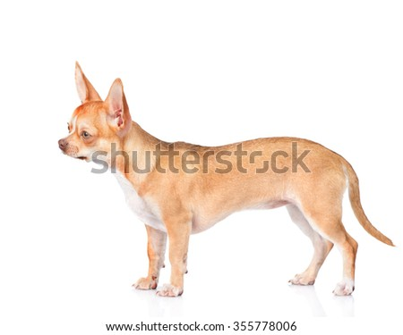 Chihuahua puppy standing in profile. isolated on white background
