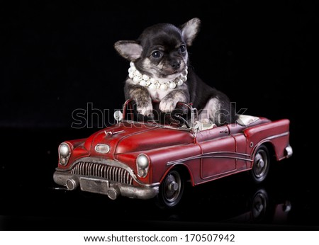 Chihuahua puppy the age of 2 month in retro car - stock photo