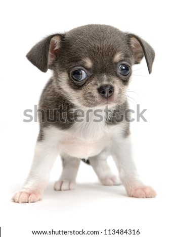 Chihuahua puppy the age of 2 month isolated on  white - stock photo