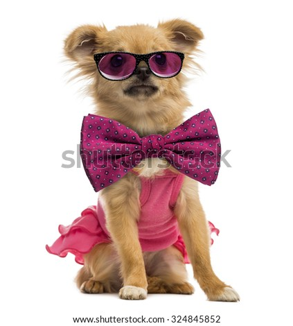 Chihuahua puppy wearing a pink shirt, glasses and a bow tie - stock photo
