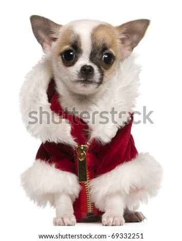 Chihuahua puppy wearing Santa coat, 3 months old, sitting in front of white background - stock photo