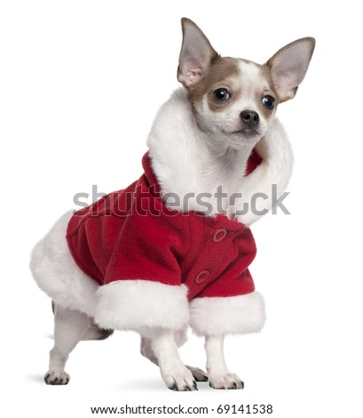Chihuahua puppy wearing Santa outfit, 6 months old, standing in front of white background - stock photo