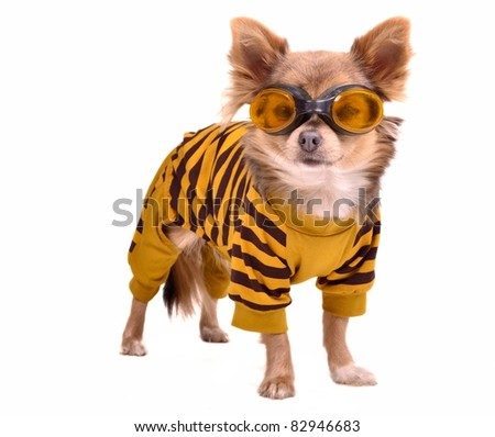 Chihuahua puppy wearing yellow suit and goggles isolated on white background - stock photo