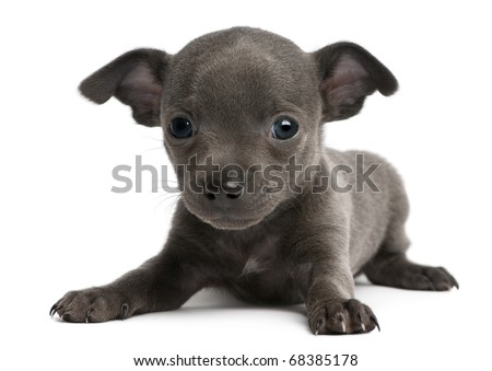 Chihuahua puppy, 6 weeks old, lying in front of white background - stock photo