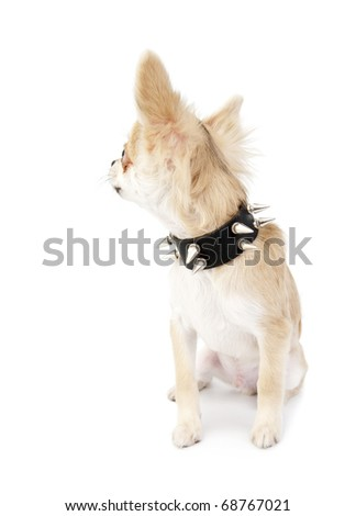 Chihuahua puppy with black leather studded collar looking  back sitting on white background