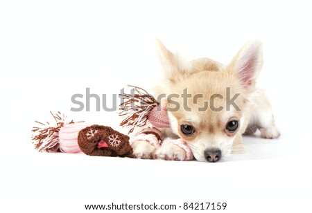 chihuahua puppy with knitted winter striped socks,  scarf and hat lying  over white  background - stock photo