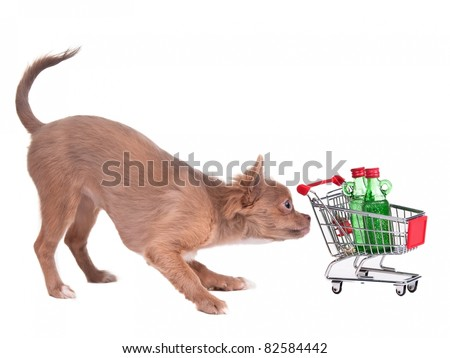 Chihuahua puppy with shopping cart bying two bottles of alcohol, isolated on white background - stock photo